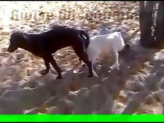 29.dog Knotted To Goat