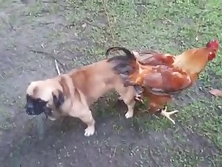 13.dog Knotted To Chicken
